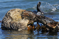 Sea Otter (Enhydra lutris) grooming flipper while tied in kelp.