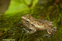 FR17-019z  Spring Peeper Tree Frog - tadpole developing into frog, losing tail, legs developed, leaving water -  Pseudacris crucifer, formerly Hyla crucifer
