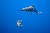 rough-toothed dolphins, Steno bredanensis, playing with monofilament fishing line which is hanging from FAD - Fish Aggregation Device, Kona Coast, Big Island, Hawaii, USA, Pacific Ocean