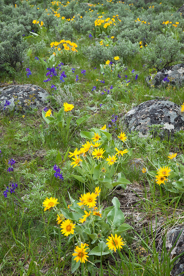 Wildflowers in the Lamar Valley, Yellowstone National Park