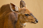 Common Duiker (Sylvicapra grimmia) female, Kruger National Park, South Africa