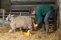 2-3-2021 A shepherd helps a Ewe give birth <br />  ©Tim Scrivener Photographer 07850 303986<br />      ....Covering Agriculture In The UK....
