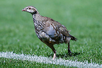 A feathered pitch invader during the Friendly match between Wycombe Wanderers and Brentford at Adams Park, High Wycombe, England on 19 July 2016. Photo by David Horn / PRiME Media Images.