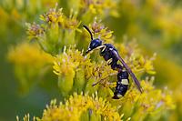 Bienenjagende Knotenwespe, Gemeine Knotenwespe, Blütenbesuch an Kanadische Goldrute, Cerceris rybyensis, ornate tailed digger wasp, Ornate-tailed Digger Wasp, Knotenwespen