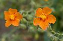 Orange rock rose (Helianthemum leptophyllum), mid June.