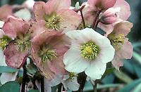 Helleborus x niger Blackthorn Group hellebore in flower, with dark stems