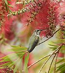 Anna's Hummingbird.Calypte anna.Stevenson Ranch, Ca. May 12, 2008. Fitzroy Barrett