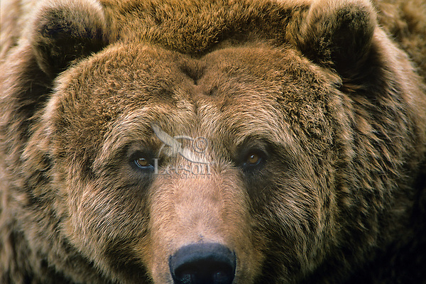 Alaskan Coastal Brown Bear or Grizzly Bear