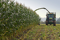 Contractors harvesting 20 acres of Diplomat maize on L. T. and C. R. Wall's Oxhouse Farm, Rowde, Devizes, Wiltshire. The unusual, recent dry weather has provided perfect conditions for harvesting the crop due to be fed to the 90 black and white dairy animals on the farm.