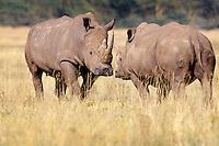 White Rhinoceros pair (Ceratotherium Simum) Africa.