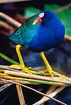 Purple gallinule perches on reeds, Everglades National Park, Florida