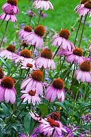 Echinacea purpurea, Purple Cone Flower, native wildflower in Minnesota garden