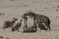 Spotted Hyena stealing prey from Black-backed Jackal and Vultures in Etosha, Namibia