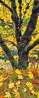 Big Leaf Maple tree in fall color on banks of North Umpqua River, Oregon.