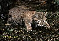 MA26-073z  Bobcat - young - Felis rufus