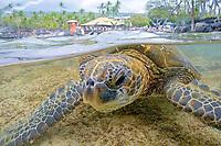 """Green Sea turtle, Hawaii, Chelonia mydas, """"Honu"""" ,feeding in shallow water, Kona Coast, Big Island, Hawaii, USA, Pacific Ocean"""
