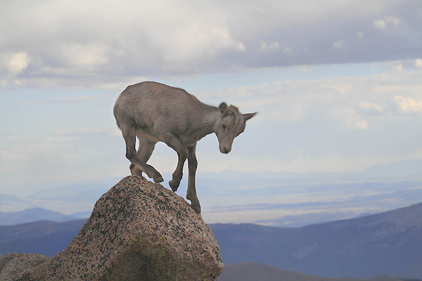 Getty Images exclusive, Immature bighorn sheep (Ovis canadensis) on the slopes of Mount Evans (14250 feet), Rocky Mountains, west of Denver, Colorado, USA Private photo tours of Mt Evans. .  John leads private, wildlife photo tours throughout Colorado. Year-round.
