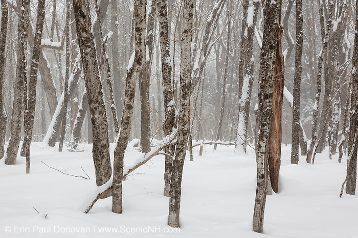 Hardwood forest in the area of the old Passaconaway Settlement in Albany, New Hampshire during the winter months. Blowing snow can be seen in the background. This area was part of the Swift River Logging Railroad era (1906-1916).