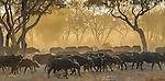African buffalo, Okavango, Botswana
