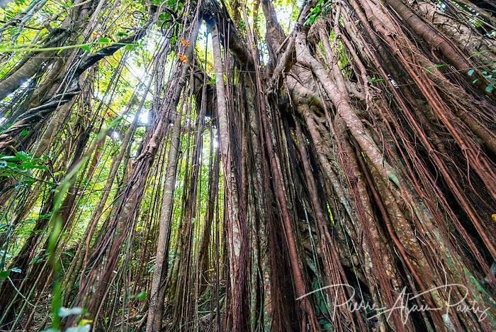 Ile des pins, banian de la troisième