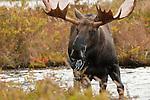 Bull moose feeding in a kettle pond in Denali National Park, Alaska.