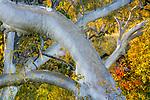 Ghost gum trees, Mornington Sanctuary, Western Australia