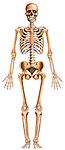 This medical illustration depicts the entire skeleton from the anterior view.