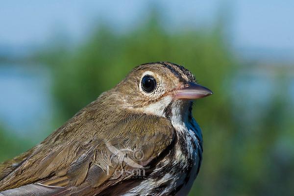 Ovenbird (Seiurus aurocapillus) rests on Lake Erie shoreline, spring migration, North America.