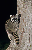 Northern Raccoon, Procyon lotor, adult at tree hole in Oak Tree at night, Lake Corpus Christi, Texas, USA