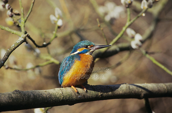 Common Kingfisher, Alcedo atthis,male on blooming Willow, Zug, Switzerland, March 1995