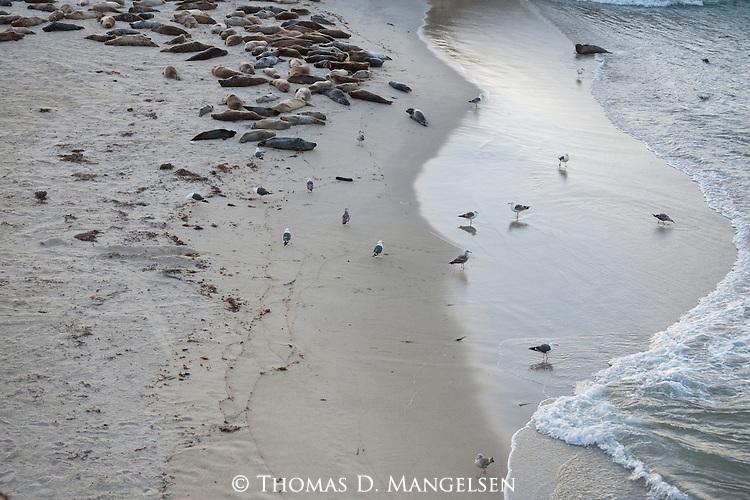 Gulls walk near harbor seals at the children's pool beach in La Jolla, California.