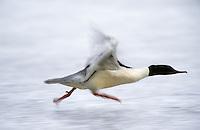 Gänsesäger, Männchen, Erpel, startet in den Flug, auf Eis, Bewegungsunschärfe, Gänse-Säger, Säger, Mergus merganser, common merganser, goosander