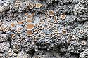 Lichen {Ochrolechia tartarea} growing on quartzite. Cairngorms National Park, Grampian Mountains, Scotland, UK, February.