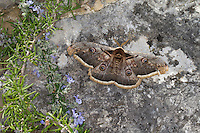 Großes Nachtpfauenauge, Wiener Nachtpfauenauge, Männchen, Saturnia pyri, Large Emperor Moth, Giant Peacock Moth, Great Peacock Moth, Giant Emperor Moth, Viennese Emperor, male, Grand paon de nuit, Pfauenspinner, Saturniidae