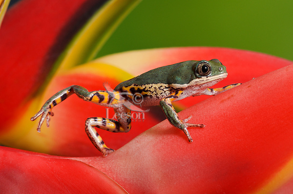 Orange-legged Leaf Frog (Phyllomedusa hypochondrialis) aka Tiger-legged Monkey Frog, native to South America east of the Andes including Amazon basin from Venezuela & Colombia to  N. Argentina.