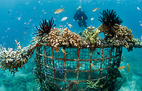 A diver swimming over a metal structure, part of the Biorock reef project in Pemuteran.  ..A low voltage direct current is applied on metal structures using an anode. Once the reef structure is in place and minerals begin to coat the surface, the next phase of reef construction begins. Divers transplant coral fragments from other reefs . Immediately, these coral pieces begin to bond to the accreted mineral substrate and start to grow—typically three to five times faster than normal. Soon other marine life starts colonizing the structure as well...Some say the effort is severely limited. While the method may be useful in bringing small areas of damaged coral back to life, it has very limited application in vast areas that need protection.