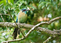 Blue-crowned Motmot, Momotus coeruliceps, feeding on insects at Monteverde, Costa Rica