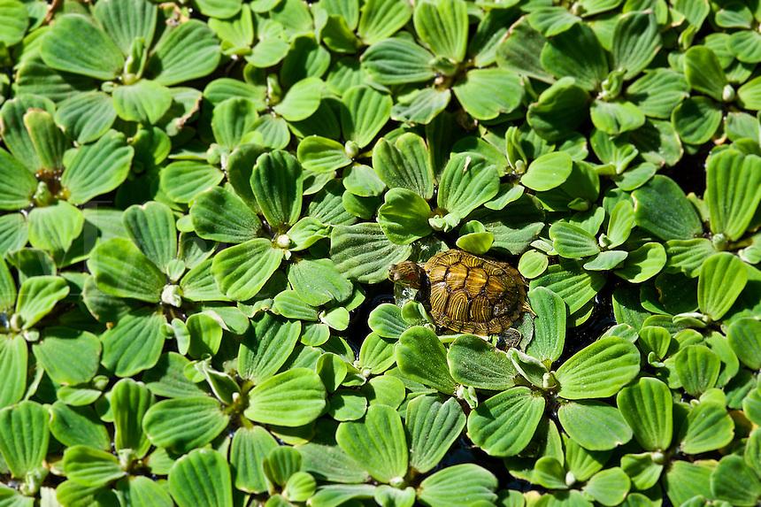 Turtle on water lettuce.