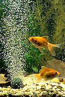 SS04-010x  Bubbles Fan Tailed Goldfish