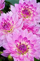 Dahlias variety Bitsy. Swan Island Dahlia Farm. Oregon. Swan Island Dahlia Farm. Oregon