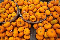 Baby pumpkins by the bushel, symbols of Halloween.