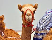 Young racing camel.  Camelus Dromadarius.  Dubai. United Arab Emirates.