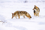 Pair of adult coyote (Canis latrans) foraging in deep winter snow. Yellowstone National Park, Wyoming, USA. January.