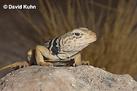 0612-1013  Great Basin Collared Lizard (Mojave Black-collared Lizard), Mojave Desert, Crotaphytus bicinctores  © David Kuhn/Dwight Kuhn Photography