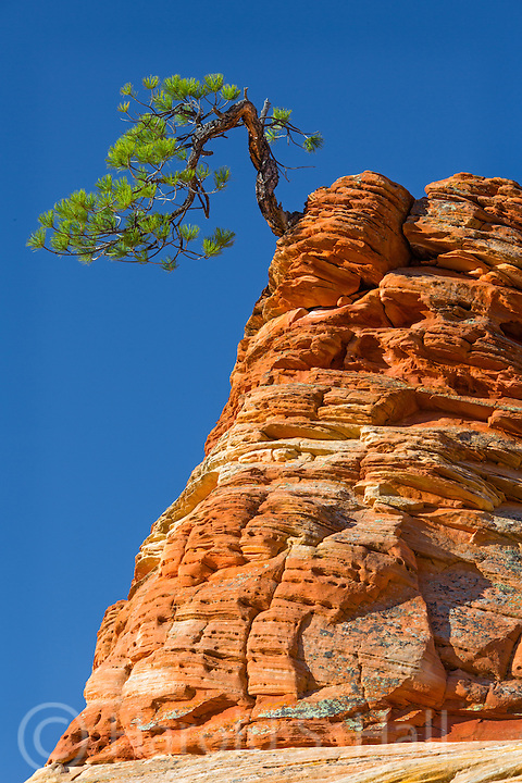 Sunrise greets this famous bonsai tree in Zion National Park.  It grows precariously from the top of the hoodoo looking rock.