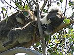 A koala lays back and enjoys a break.  Australian koalas sleep a lot to conserve energy.