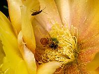 A bee in a prickly pear cactus flower gathers the pollen. The bee brushes its head and the front of its thorax with its front legs and makes the grains stick with a bit of honey. The pollen is transferred to the middle legs then on to be stored on the back legs.<br /> Une abeille dans une fleur de figuier de barbarie récolte du pollen. L'abeille se brosse la tête, l'avant du thorax avec ses pattes antérieures et englue les grains avec un peu de miel. Le pollen est alors transféré sur les pattes médianes puis stocker sur les pattes postérieures.