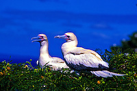 The endangeerd Red-footed Booby (Sula sula rubripes) nests in the Ulupa'u Crater located on the Mokapu Penisula, windward Oahu. It is one of only two nesting preserves in the Hawaiian islands for the Red-footed Booby.