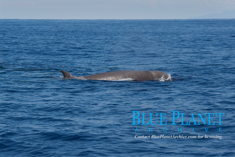 Northern Bottlenose Whale (Hyperoodon ampullatus) adult animal surfacing, rare unusual image. Azores, Atlantic Ocean MORE INFO: This was part of a group of 13 animals seen South of Pico Island, it is extremely rare to see so many Bottlenose Whales together.