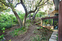 Quercus agrifolia, native live oak tree woodland as backyard for Coyote House, SITES® residential home with sustainable garden Santa Barbara California, Susan Van Atta landscape architect, Ken Radtkey architect.